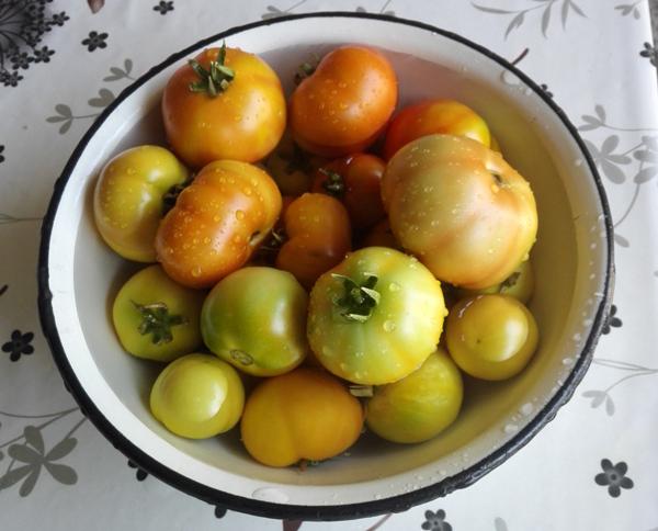 malosolnye-zelenye-pomidory-v-banke